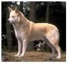 Ханаанская собака