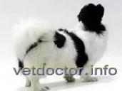 Тибетский спаниель