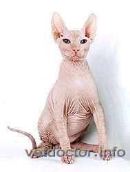 Голая кошка (сфинкс)