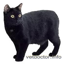 Манкс (Мэнская бесхвостая кошка)