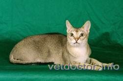 Сингапурская кошка (Сингапура)
