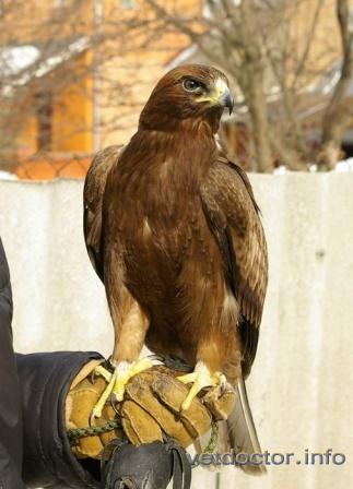 Орел-карлик, самец