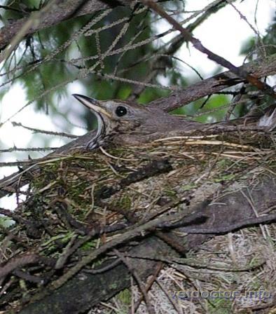 Певчий дрозд на гнезде